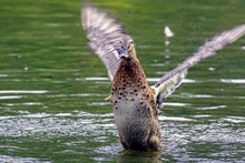 Close-Up Of Female Mallard Duck Flapping Wings In Lake