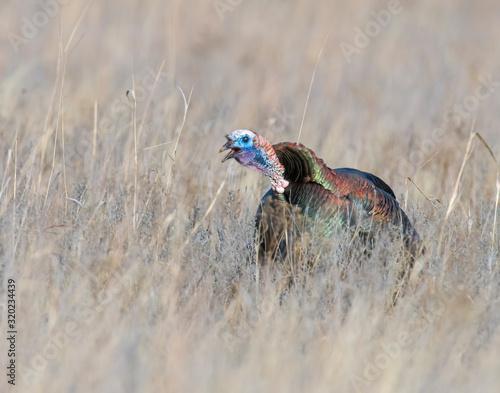 Wild Turkey gobbling in a field Slika na platnu