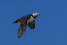 Low Angle View Of Puffin Flying In Clear Blue Sky
