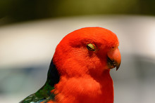 Close-Up Of Australian King Parrot Perching Outdoors