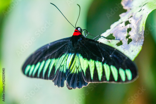 Rajah Brooke black and green birdwing  butterfly Wallpaper Mural