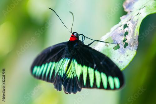 Photo Rajah Brooke black and green birdwing  butterfly