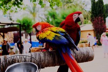 Close-Up Of Scarlet Macaws Perching Outdoors