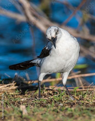 Valokuva A rare Piebald Great-tailed Grackle in Lawton, Oklahoma