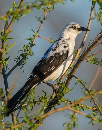 A rare Piebald Great-tailed Grackle in Lawton, Oklahoma Canvas-taulu