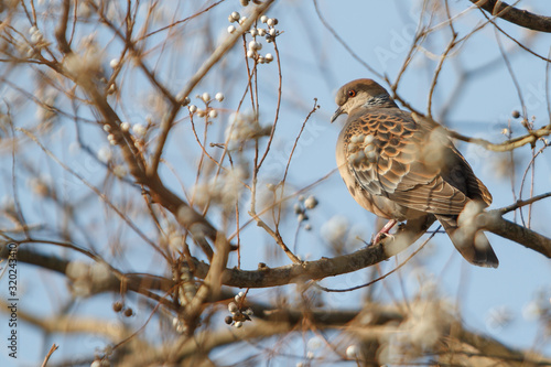 Fotografie, Obraz Partridge Perching On Branch Of Bare Pear Tree