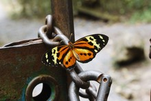CLOSE-UP OF BUTTERFLY PERCHING ON Metal Chain