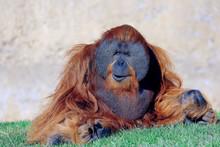 Orangutan Resting On Grassy Fi...