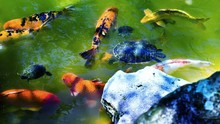 High Angle View Of Koi Carps And Turtles Swimming In Pond