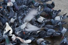 High Angle View Of Pigeon On Footpath
