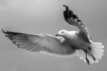 Full Length Of Seagull Flying Against Sky