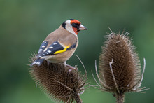 Close-Up Of Gold Finch Perching On Thistle