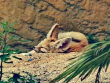Fennec Fox Sleeping On Field