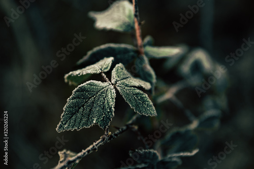 Fotografie, Obraz leaf with frost