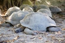 Giant Tortoise Sleeping On Field
