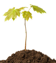 Maple Tree Sprout With Green F...