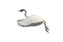 Great Egret Isolated On White ...