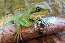 A Portrait Of A Green Chinese Water Dragon Standing On A Branch