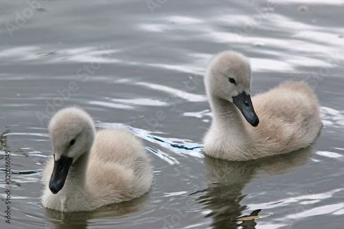 Cuadros en Lienzo Cygnets swimming in a lake