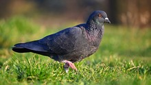 Animal - Bird Pigeon. Beautifu...