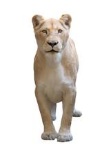 Female Lion Isolated On White ...