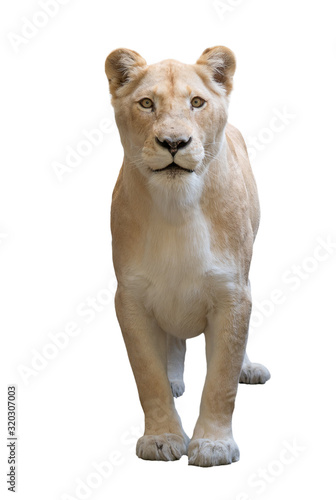 female lion isolated on white background Wall mural