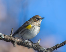 Yellow-rumped Warbler On A Perch