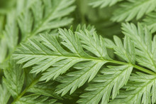 Conium Maculatum Poison Parsley Spotted Carobein Poison Hemlock Very Toxic Plant That Grows Naturally In Ditches And Wet Places