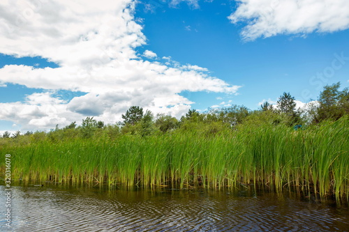 Growing reeds in the bay of the river against the background of the forest and cloudy blue sky on a summer day Canvas Print