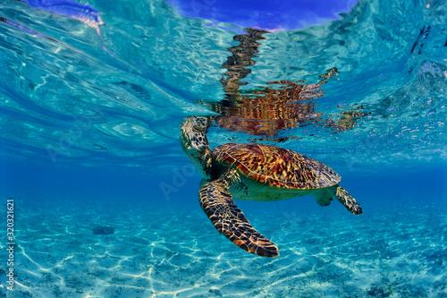 Fotografiet 沖縄のビーチで呼吸するウミガメ