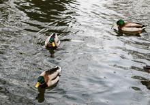 Three Swimming Ducks