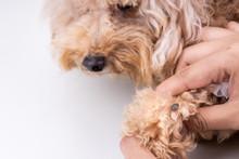 Big Blood Sucker Tick  Discovered On Dog's Fur