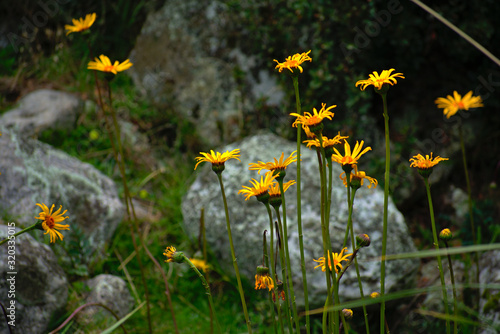 Yellow asteraceae flowers blooming closeup in Huascaran National Park