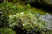 Lichen Growing On A Rock In Hu...