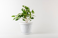 Ficus Benjamin In A Pot Isolat...