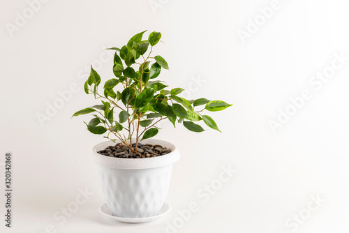 Ficus benjamin in a pot isolated on white background Fototapeta
