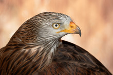 Red Kite Head Closeup (Milvus ...