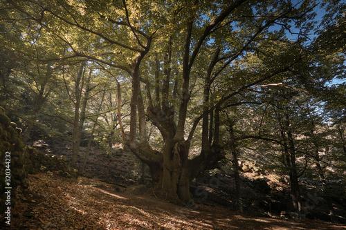 Photo Castaño centenario en el bosque encantado de castaños durante el otoño