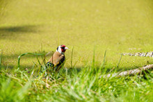 European Goldfinch (Carduelis Carduelis) In Grass Next To A Pond In The UK