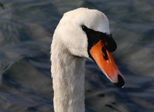 White Swan With Orange Beak That Has Just Surfaced From Beneath The Water