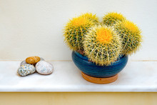 Beautiful Green Succulent Plant Or Cactus In A Pot. Tropical Houseplant For Modern Decoration Home In Growing Or Gardening Concept. A Beautiful Golden Barrel Cactus In A White Pot