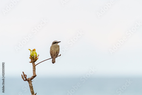 Tropical kingbird (Tyrannus melancholicus) perched on a twig against a bright ba Canvas Print