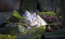 Ceratotherium Simum Cottoni, Simum, Diceros Bicornis Michaeli, White Rhino, Are Critically Endangered Species