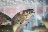 Fototapeta Tęcza - Steelhead trout or Rainbow trout close-up floating under water background