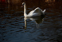 White Swan On The Water. Refle...