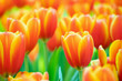 canvas print picture - Fresh colorful tulips flower bloom in the garden