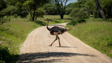 Ostrich Crossing The Road In T...