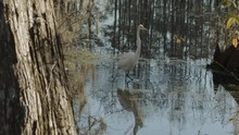An Egret Moves Through A Shallow Swamp In Slow Motion.
