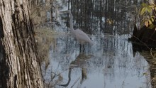 A Great White Egret Moves Through A Swamp In Slow Motion.