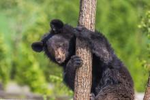 Black Bear Climbing A Tree On ...